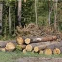 У лісових угіддях Бережанського р-ну виявили 50 нелегально зрубаних дерев